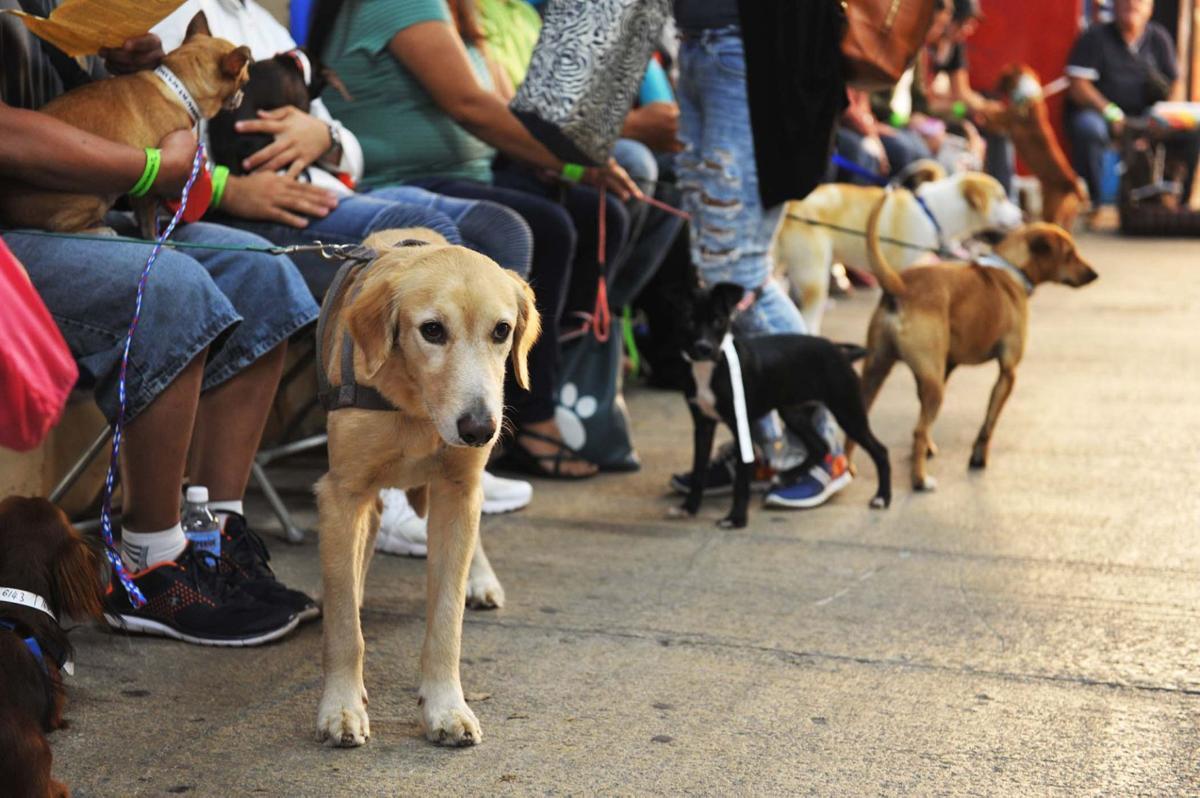 Perros en espera de esterilización y vacunación en Spayathon Bayamón