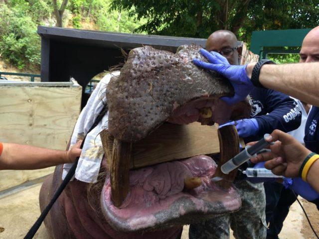 """Realizan Nueva Operacion de Ortodoncia al Hipopotamo """"tommy"""" del Parque de las Ciencias"""